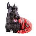 Dog in kilt scotch terrier a red classical sitting on a white background Royalty Free Stock Photography