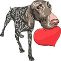 Dog Kurzhaar breed holding a red heart Stock Photos