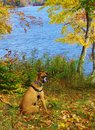 Dog at lake boxer gazing off by during fall season Stock Photography