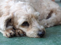 Dog lay down on the floor light brown green Royalty Free Stock Photo