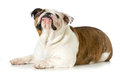 Dog laying down looking up english bulldog isolated on white background Stock Images