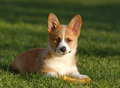 Dog laying in grass cute puppy wanting to play Royalty Free Stock Photo