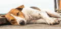 Dog lazy relaxing and sleeping on wood bridge Stock Photography