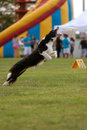 Dog Leaps To Try And Catch Frisbee Royalty Free Stock Photography