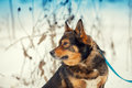 Dog on the leash in snowy winter portrait of purebred Stock Photo