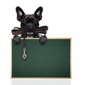 Dog leather leash french bulldog waiting to go for a walk with owner in mouth behind blank blackboard isolated on white background Stock Photo