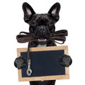 Dog leather leash french bulldog waiting to go for a walk with owner in mouth holding a blank blackboard isolated on white Royalty Free Stock Photography