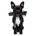 Dog leather leash french bulldog waiting to go for a walk with owner in mouth isolated on white background Stock Images