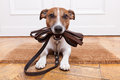 Dog leather leash with waiting to go walkies Royalty Free Stock Photo