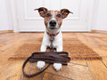 Dog leather leash with waiting to go walkies Royalty Free Stock Images