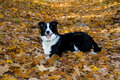 Dog in the leaves. Stock Images