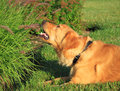 Dog lick grass golden retriever loves the ornamental in garden Royalty Free Stock Image