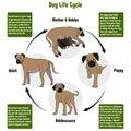 Dog Life Cycle Diagram