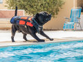 Dog in life jacket playing by a swimming pool Royalty Free Stock Photo