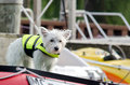 Dog in a life vest on boat deck little white terrier wearing stands board the lake watching the other boats float by Stock Photography