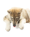 Dog like wolf looks down on a white background isolated Stock Photo