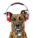 Dog listening to music on headphones. isolated on white Royalty Free Stock Photo