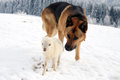 Dog and little lamb german shepherd guarding herd of sheep feeding skudde winter on the farm Royalty Free Stock Photos