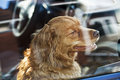 Dog locked in car portrait of australian shepherd Stock Images
