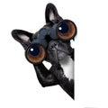 Dog looking through binoculars Royalty Free Stock Photo
