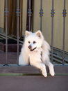 Dog looking out the gate white pomeranian Royalty Free Stock Photo