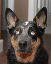 Dog looking straight up blue heeler Royalty Free Stock Photography