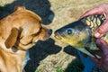 Dog looks at the fish Royalty Free Stock Photo