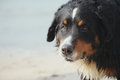 Dog looks near sea bernese mountain close up Royalty Free Stock Photos