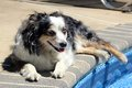 Dog lounging poolside australian shepherd by a pool Royalty Free Stock Photos