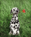 Dog in love with red rose in the mouth on the grass Royalty Free Stock Photo
