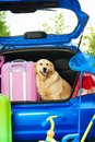 Dog and luggage in the trunk close shoot of a car with retriever waiting with bags for trip trickle ball scoop net Royalty Free Stock Photos