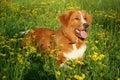 Dog Is Lying In A Flower Field