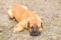 Dog lying on ground bullmastiff portrait close up looking away the Royalty Free Stock Images