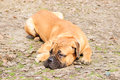Dog lying on ground bullmastiff portrait close up looking away the Stock Photos