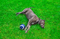 Dog lying on the lawn next to soccer ball Royalty Free Stock Photos