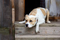 Dog lying on the porch and protects the house your home Stock Image