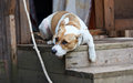 Dog lying on the porch and protects the house your home Royalty Free Stock Image
