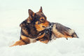Dog lying on the snow Royalty Free Stock Photo
