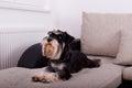 Dog lying on sofa Royalty Free Stock Photo