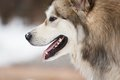 The dog of malamute on white background at winter time Royalty Free Stock Photo