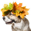 Dog in a maple wreath ,isolated Royalty Free Stock Images