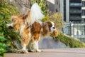 Dog marking territory Royalty Free Stock Photo