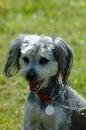 Dog: Mongrel Stock Photography