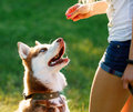 Dog motivational training. Trainer gives the husky a reward Royalty Free Stock Photo