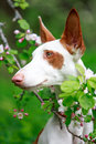 Dog on nature with apple tree blossoms Stock Photography