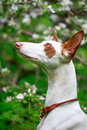 Dog on nature with apple tree blossoms Stock Images