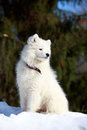 Dog on nature samoyed puppy in winter Royalty Free Stock Images