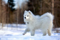 Dog on nature samoyed puppy in winter Royalty Free Stock Photos