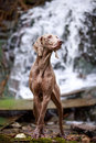 Dog on nature weimaraner near waterfall Stock Photo