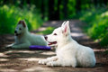 Dog on nature white swiss shepherd puppy Stock Image